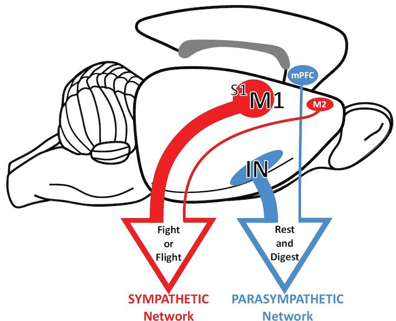 "Two opposing circuits connecting the brain to the stomach convey either ""fight or flight"" or ""rest and digest"" commands to the gut. Credit: David Levinthal, M.D., Ph.D., and Peter Strick, Ph.D."